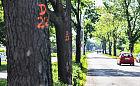 Gdynia: wytną drzewa przy płk. Dąbka. Dla bezpieczeństwa
