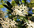Kwiaty dzikiego bzu. Zastosowanie lecznicze, kosmetyczne i kulinarne