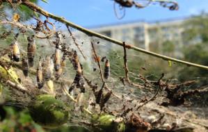 Namiotniki zaatakowały drzewa na Suchaninie
