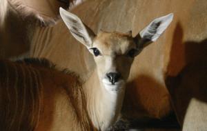 Zoo: dwa małe elandy, wkrótce kolejne porody
