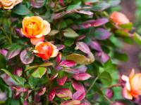 Róże. Królowe każdego ogrodu