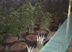 Policjanci zlikwidowali dwie plantacje marihuany