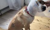 Ktoś strzelał do psa z wiatrówki?