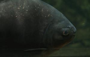 Ryby podejrzewane o niechęć do mężczyzn