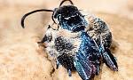 Wyjątkowy gatunek motyla odnaleziony po 130 latach