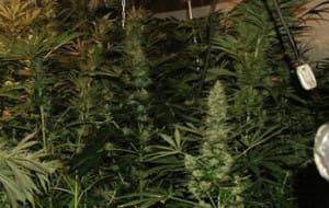 Uliczny grafficiarz z domową marihuaną