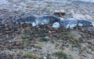 Znaleziono martwe foki z cegłą u szyi