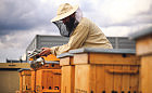 Przybywa uli na dachach budynków