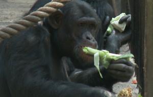 """Nowa atrakcja w zoo: """"lunch z szympansem"""""""