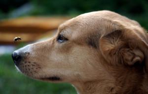 Co robić, gdy psa użądli osa lub pszczoła?
