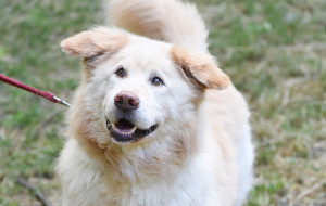Szmugiel: porzucony na starość pies szuka nowego domu