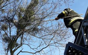 Strażnicy i strażacy ściągnęli kota z 10-metrowego drzewa