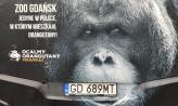 Autobus z orangutanem na ulicach Gdańska