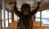 Pluszowy orangutan w zabytkowym tramwaju