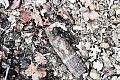 Dziki wykopały niewybuch w lesie w Redłowie