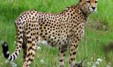 Nowy pomysł na zoo. Skorzystają goście i gepardy