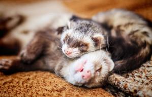 Tchórzofretki: małe zwierzaki z dużą energią