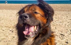 Misiek - duży pies z wielkim sercem potrzebuje człowieka