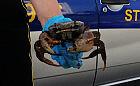 Dorodny krab spacerował po trawniku w Gdyni