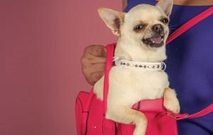 Pies to nie zabawka: nie zabieraj go ze sobą wszędzie