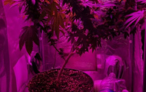 Zapach zdradził hodowcę marihuany