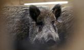 Rusza odstrzał dzików w lasach Trójmiasta