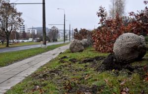 Gdynia: przesadzają drzewa, żeby ich nie wycinać