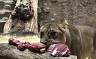 Trening medyczny lwów w Zoo
