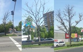 12 martwych i chorych drzew zniknie z al. Grunwaldzkiej