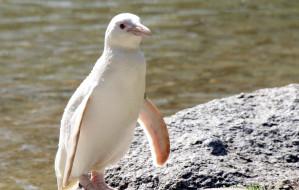 Kokosanka, pingwin albinos, obchodzi pierwsze urodziny