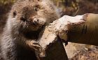 Bobry zbudowały tamy w Trójmiejskim Parku Krajobrazowym