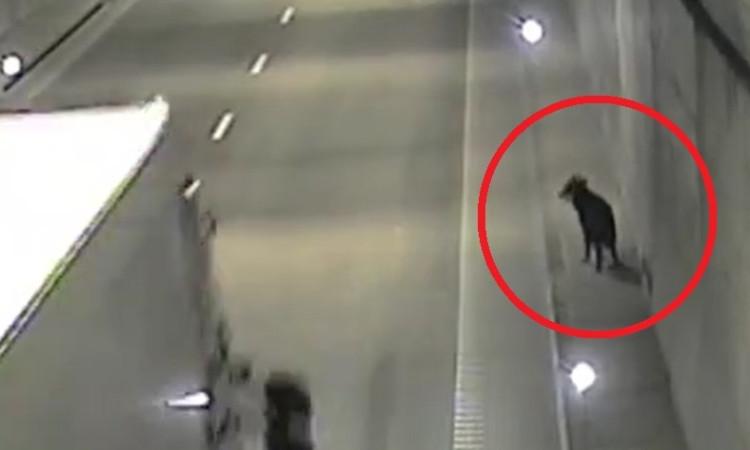 Pies spacerował tunelem pod Martwą Wisłą