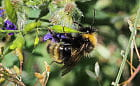 71-letni youtuber sfotografował w Gdańsku najrzadszą pszczołę w Polsce