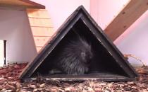 Urson - nowy zwierzak w gdańskim zoo