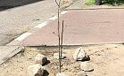 Posadziła drzewo na klepisku, zrobiła furorę w sieci