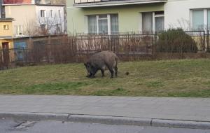 Dzik zaatakował psa w Sopocie