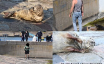 Płoszą małe foki, które pojawiły się w Gdyni