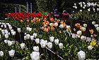 Gdynia skąpana w tulipanach