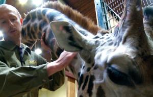 W naszym ZOO pieszczą żyrafy