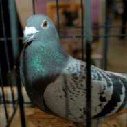 Gołębie - Wystawa Gołębi Rasowych
