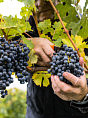 Ekologia i natura austriackiego wina