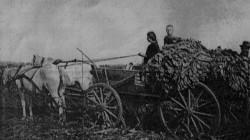 Zwózka liści tytoniowych na polach należących do fabrykanta Ariela Goldfarba ze Starogardu Gd.