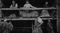 Suszenie liści tytoniu. Zdjęcie z ok. 1910 r.