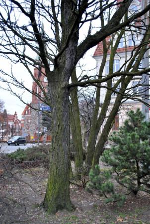 Urzędnicy chcą przenieść to drzewo, choć wiąże się z to z dużymi kosztami i sporym ryzykiem.