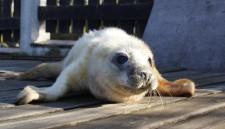 Łacha, szczenię foki szarej, które wkrótce zasili bałtycką populację tych ssaków.