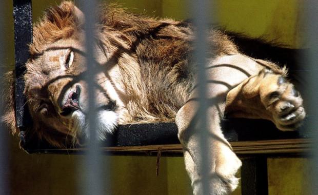 Lwy w gdańskim ZOO po raz ostatni oglądaliśmy w 2000 roku.