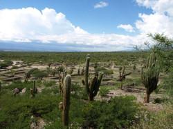 Trichocereus pasacana  to monumentalny kaktus, który można spotkać w Argentynie.
