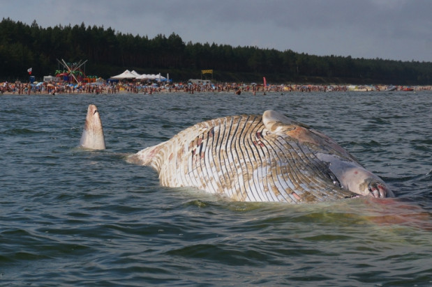 Ciało wieloryba znajduje się około stu metrów od brzegu.
