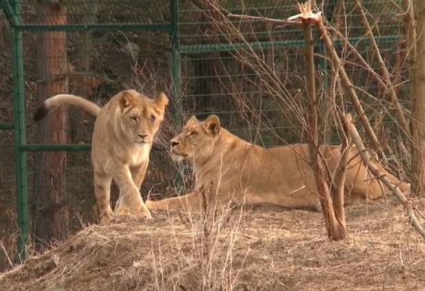 Trzy lwiątka urodziła młodsza lwica (na zdj. po lewej stronie) z gdańskiego ZOO. Wcześniej, bo w czerwcu, matką została starsza Tschibinda, ale mały lew zdechł.
