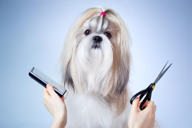 Szukając psa o określonym charakterze i wyglądzie powinniśmy zainwestować w tego, który posiada rodowód. Wiąże się to również z niskim ryzykiem wrodzonych wad genetycznych. Jest to jednak równoznaczne z wyższą ceną, a często także wyższymi wymaganiami pielęgnacyjnymi.